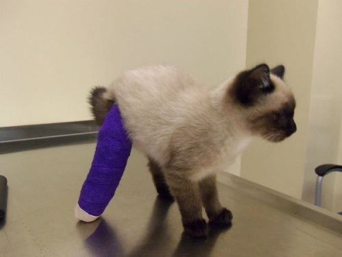 Pretzel stood up on her new leg only a day after her first corrective surgery.